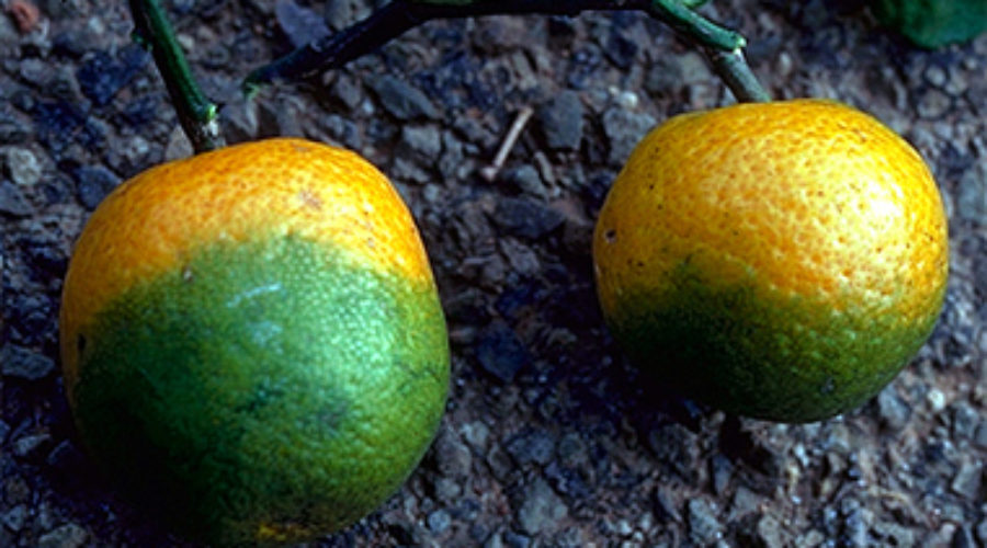 Citrus Disease Reaches San Bernardino County