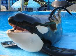 SeaWorld Critics Hire Firm to Push Orca Ban Bill