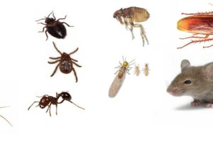 Rodent and Bed Bug Infestations on the Rise in California