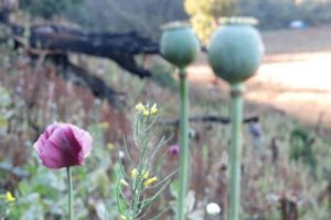 43,500 Opium Poppies Found in California Town